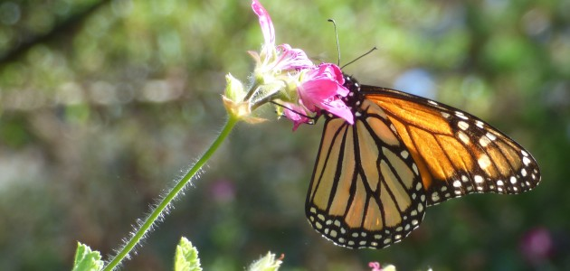 A monarch butterfly rests on a flower here on the Monterey Peninsula, where thousands of the insects annually migrate to spend the winter.