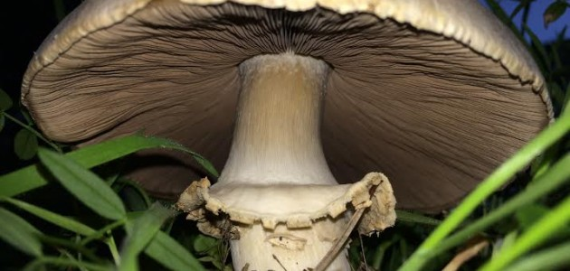 "A large white mushroom from the ""chill hill"" in the genus Agaricus, probably the field mushroom (Agaricus campestris)"