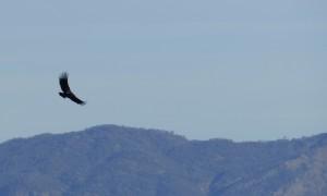 Condor (1)