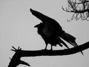 Condor Silhouette (Quiet One)