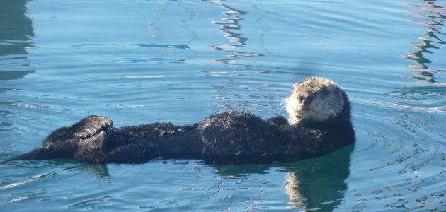 Floating in the waters of Monterey Municipal Marina, this southern sea otter is well adapted to its frigid kelp forest home with a double layer of fur.