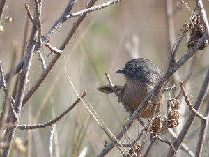 More often heard than seen, a wrentit skulks through chaparral scrub in the marshland surrounding the Carmel River lagoon.